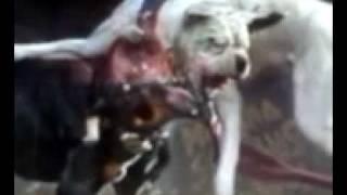 Pelea De Perros Pitbull Vs Dogo