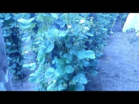 Hidroponia vertical de fresas 5