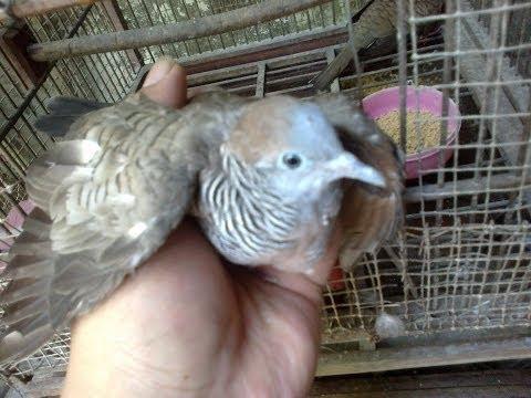 Burung Perkutut dalam kandang Alami