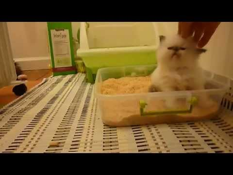 how to train new kitten to use litter box