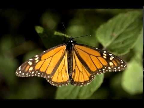 Monarch Butterfly. México. Chico Sánchez Audio-Slide Show