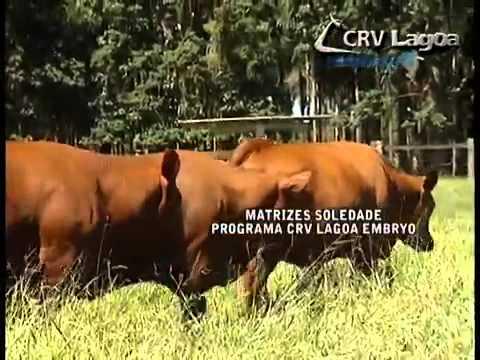 CRV Lagoa Embryo Soledade