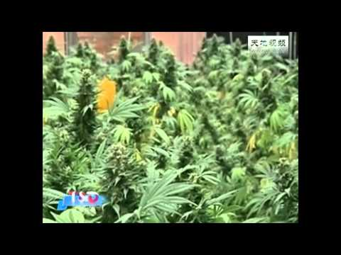 T-D.TV - Israel cultivate a Medical cannabis