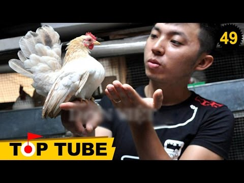 Những con gà quý hiếm nhất mọi thời đại có giá ngàn đô tại việt nam #49