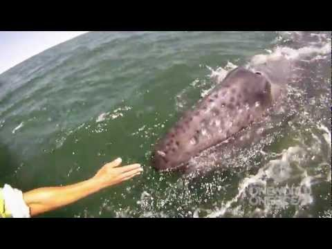 Incredible Whale Encounter – Mother Gray Whale Lifts Her Calf Out of the Water! [HD]
