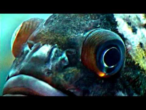 Big eyed fish youtube for One eyed fish
