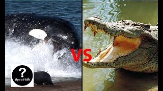 Cá Voi Sát Thủ vs Cá Sấu Nước Mặn, con nào sẽ thắng? || Bạn Có Biết?