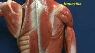 Little Man Model - Trapezius & Longissimus Dorsi.avi view on youtube.com tube online.