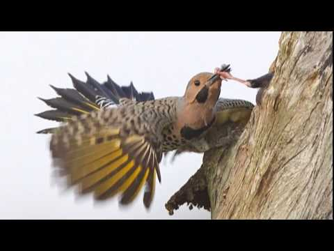 Woodpeckers vs. Starlings vs. Air Rifle