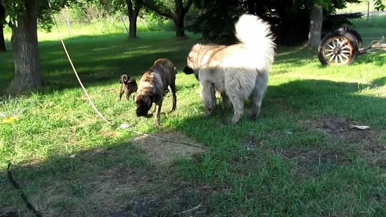 Pin Tibetan-mastiff-vs-caucasian-ovcharka-forum on Pinterest