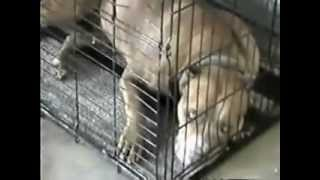 Strongest-dog-and-largest-purebred-Pit Bull-1998.wmv