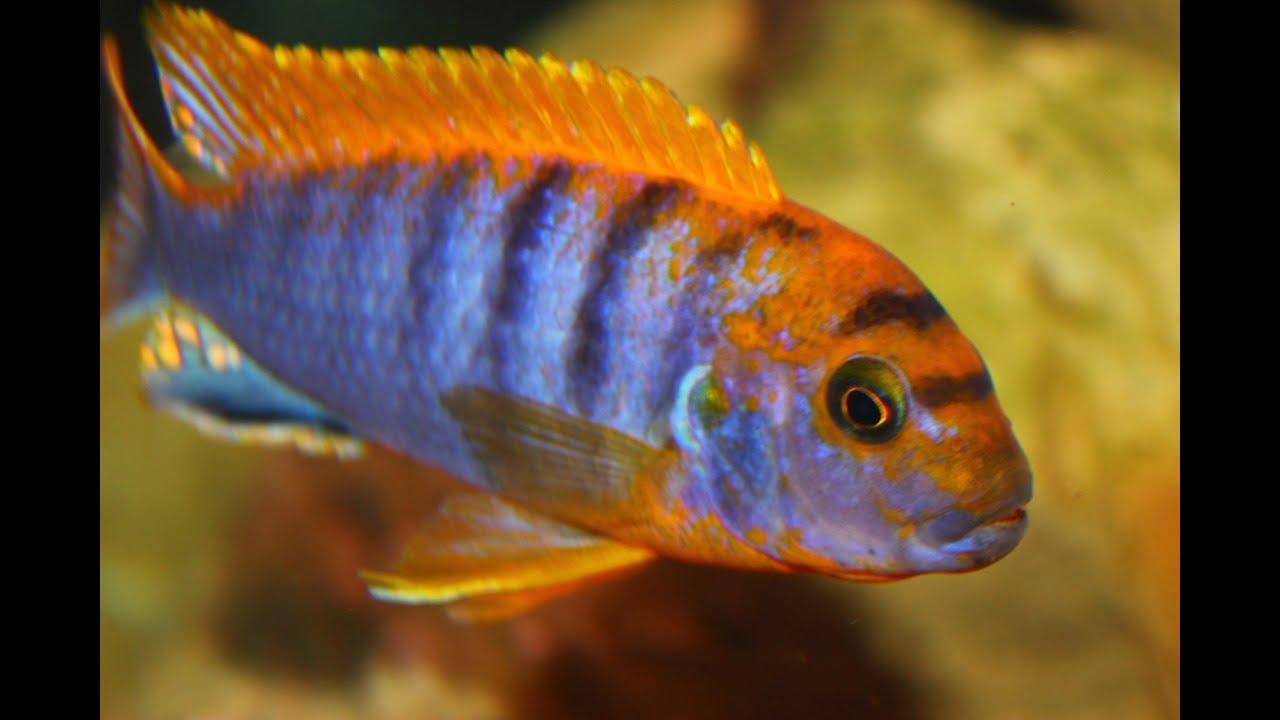 African Cichlid Species Labidochromis Sp Hongi Male