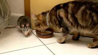 חתול וחולדה