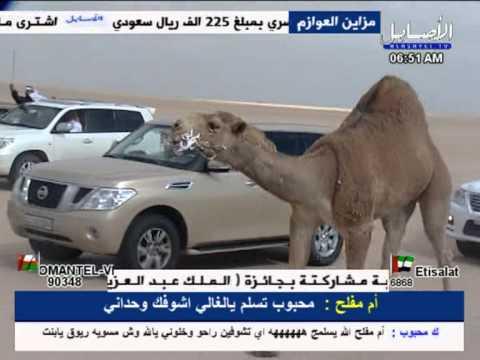 مسيره الفحل غشام للمالك احمد محمد بن غشام العازمي