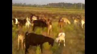 Goat Farming In Nepal