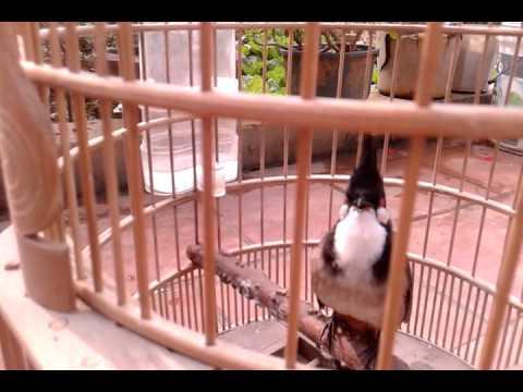 Chim chào mào hót hay nhất thế giới