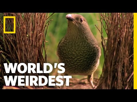 NatGeoWild - World's Weirdest - Bowerbird Woos Female with Ring