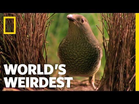NatGeoWild - World's Weirdest - Bowerbird Woos Female with Ring