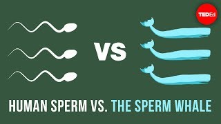 Human sperm vs. the sperm whale - Aatish Bhatia