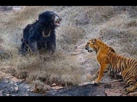 Trận chiến sống còn giữa Hổ và Gấu