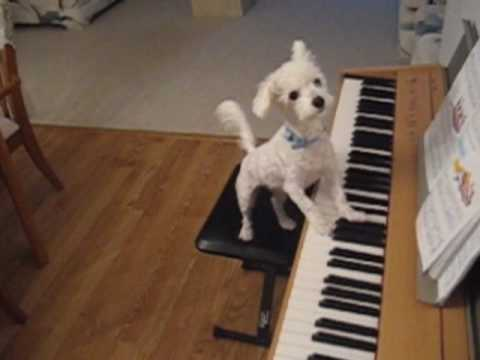 Amazing animal trick. Dog singing and playing the piano.