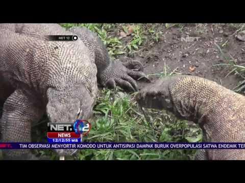 Sebanyak 57 Komodo di Kebun Binatang Surabaya dirawat Khusus - NET12