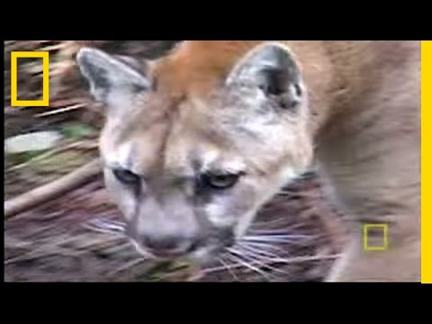 Big Cats: Washington Cougars