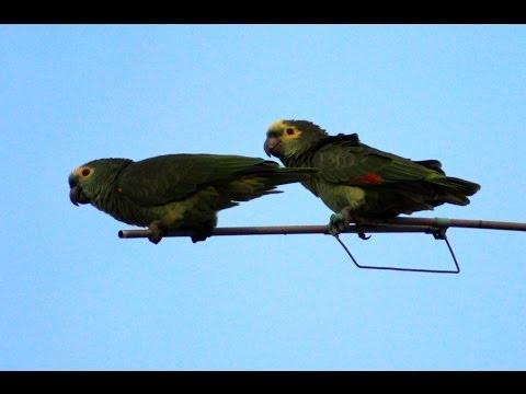 papagaio-verdadeiro - Amazona aestiva
