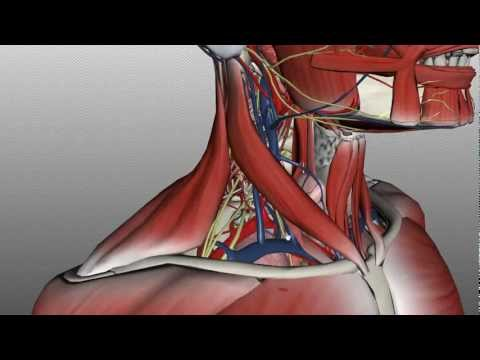 Neck Anatomy - Organisation of the Neck - Part 2