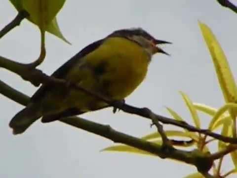 Canto do passarinho Tricolor