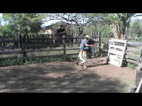 domando cavalo selvagem