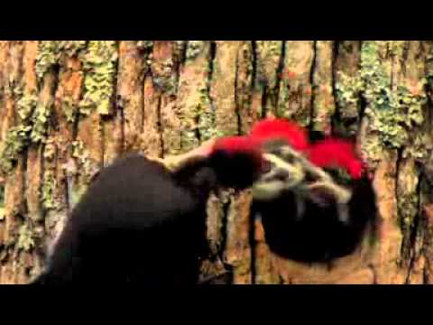 PBS Nova ScienceNOW Ivory Billed Woodpecker
