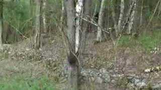 THE CLEAREST CRYPTOZOOLOGY BIGFOOT VIDEO EVIDENCE