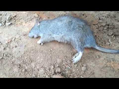 VBV-Mèo và chuột (cat and rat)