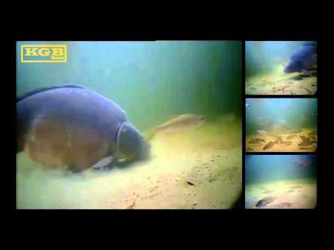 Kŕmenie 20 kg+ kaprov pod vodou