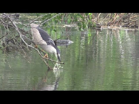 Thirsty Night Heron at Jamaica Bay Wildlife Refuge