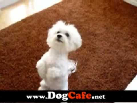 My Cute Maltese Dog Tobi Doing Dog Tricks Video Maltese Breed Dogs