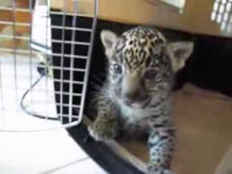 Baby Jaguar (Cub) Chews Finger Then