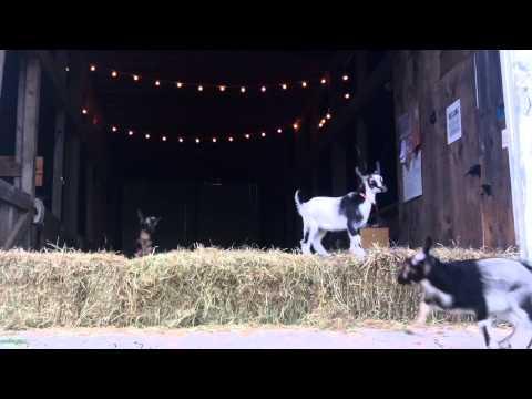 Baby Goat Flood at Sunflower Farm
