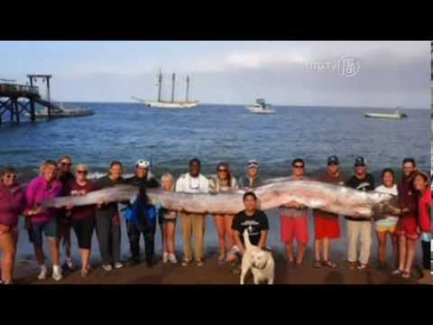 Cá Oarfish khổng lồ được phát hiện tại California