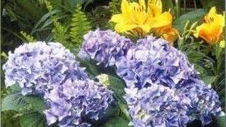 Comment bouturer un hortensia vea mas videos de hortensia hortensia tvplayvideos - Comment bouturer un hortensia ...