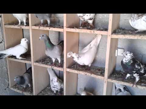 Gece Karışmacıları filo güvercinleri