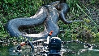 Village In Brazil Caught The Largest Anaconda In The World