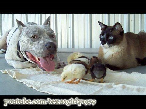 sphynx cat rescue texas