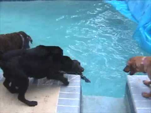 Bruno - So many dogs,  only one swimmer., Bruno leaves his friends on the pool deck at Labrador Retriever Rescue of Florida.