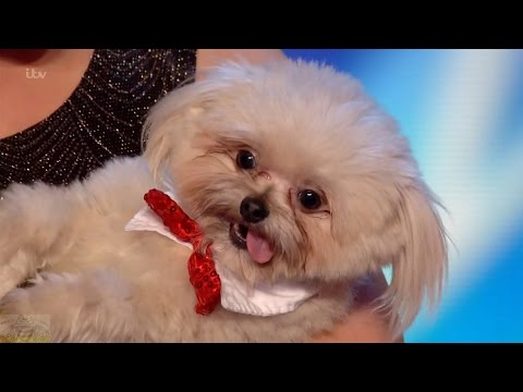 Britain's Got Talent 2016 S10E01 Trip Hazard and Lucy Adorable Trained Dog Act Full Audition