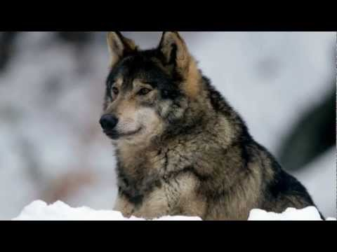 Vladimir Vysotsky - The Hunting Of Wolves