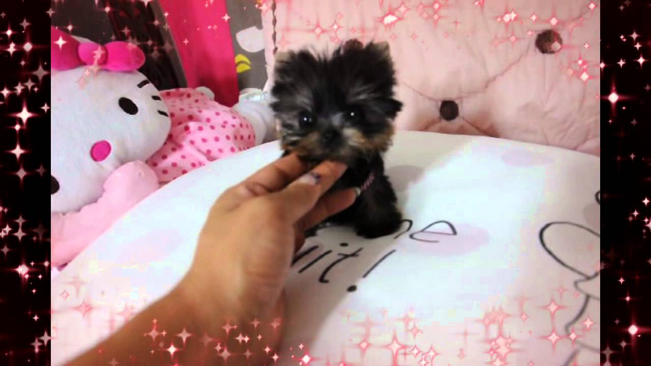 Smallest Micro Yorkie Puppy In The World Youtube