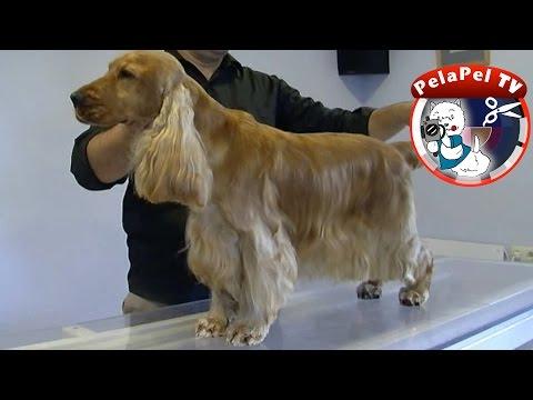Video zu English Cocker Spaniel