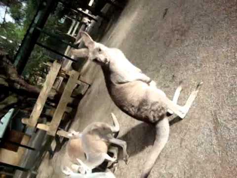Kangaroos - Featherdale Wildlife Park - Sydney - Australia